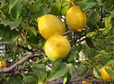 citrons-limoncello